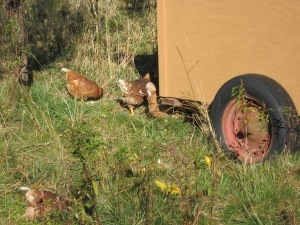Foraging hens