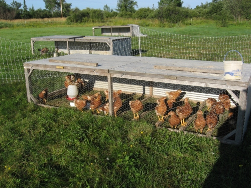 Chicken tractor in summer